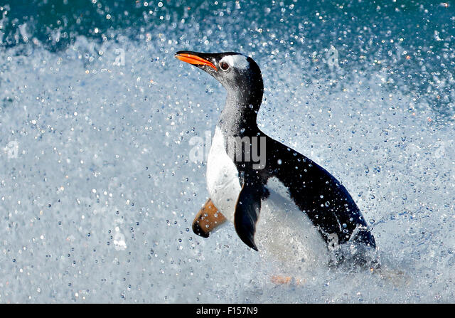 Gentoo penguin (Pygoscelis papua) surfing onto beach, Carcass Island, Falkland Islands. - Stock Image