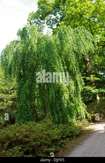 Weeping Katsura Tree, Cercidiphyllum japonicum f. pendulum, Cercidiphyllaceae. China and Japan. Aka Candyfloss Tree. - Stock Image