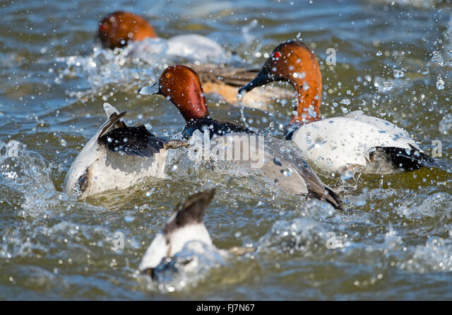 Redhead and Canvasback Ducks Splashing in the Water - Stock Image