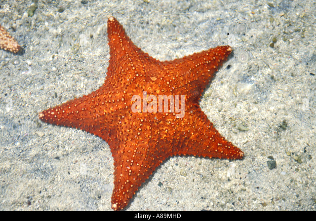 Tropics underwater red starfish - Stock Image