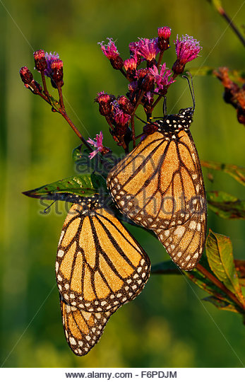 Two Monarch Butterflies (Danaus plexippus) at sunrise on a Ironweed plant - Stock Image