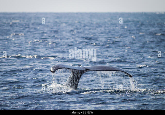 Whale tail splashing, Okinawa, Japan - Stock Image