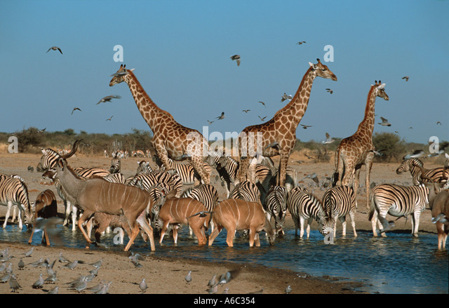 Mixed antelope and giraffe with cape turtle doves and other birds drinking at waterhole Etosha N P Namibia - Stock Image
