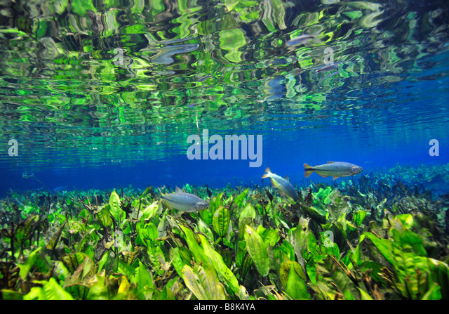 Characins or piraputangas Brycon hilarii swim by Baia Bonita river Aquario Natural Bonito Mato Grosso do Sul Brazil - Stock Image