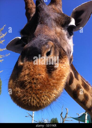 Friendly giraffe - Stock-Bilder