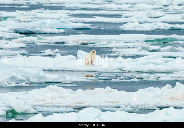 Solitary Polar Bear, Ursus Maritimus, sitting on melting ice, Olgastretet Pack Ice, Svalbard Archipelago, Norway - Stock Image