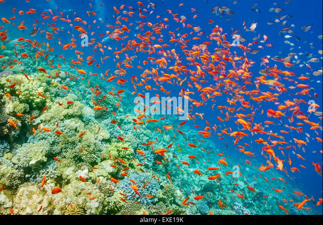 Underwater picture, shoal of fish over the coral reef in Red Sea, Egypt - Stock Image