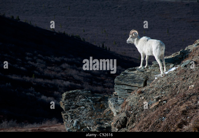 Dall Sheep standing on a steep slope overlooking the valley below, Denali National Park and Preserve, Interior Alaska, - Stock Image
