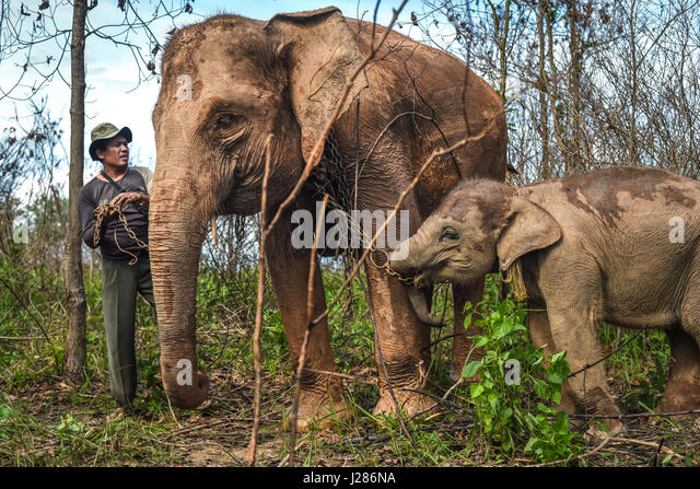 A mahout is preparing an elephant calf to walk with its mother on the feeding ground of Way Kambas National Park, - Stock-Bilder
