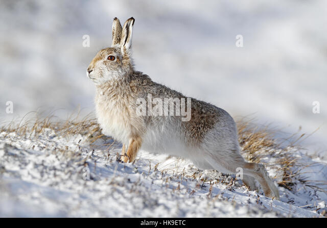 Mountain Hare (Lepus timidus) Adult transitional coat, stretching, standing on snow covered ground, Scotland, March - Stock-Bilder