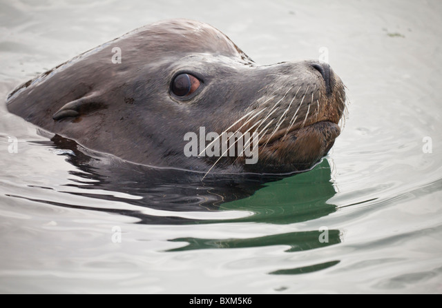 how to draw a sea lion swimming