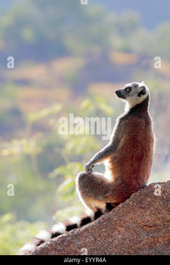 ring-tailed lemur (Lemur catta), sitting on a rock staring into the distance, Madagascar, Andringitra National Park - Stock Image