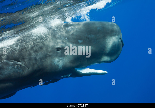 Sperm Whale, Physeter macrocephalus, Caribbean Sea, Dominica - Stock Image