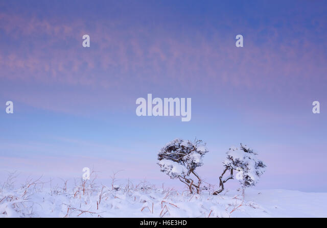 Two small twisted shrubs on moorland during winter with snow on the ground underneath a colourful dawn sky - Stock Image