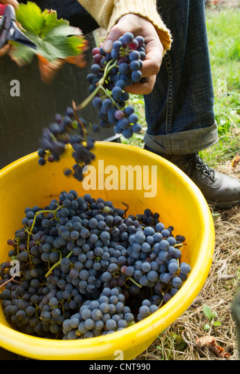 Harvesting grapes - Stock Image