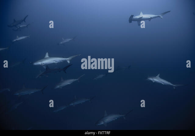 Shy Hammerhead Sharks (Sphyrna Lewini) gather in large schools in deep blue - Stock Image