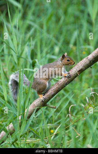 Grey Squirrel in garden UK - Stock Image