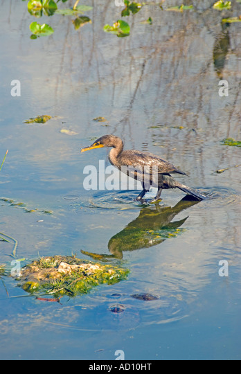Bird double crested cormorant Florida everglades national park nature natural wildlife birding - Stock Image