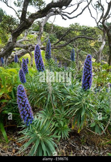 Blue lupins in woodland, Coromandel, New Zealand - Stock Image
