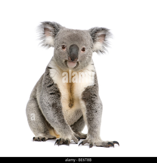 Portrait of male Koala bear, Phascolarctos cinereus, 3 years old, in front of white background, studio shot - Stock Image