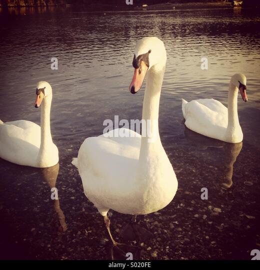 Mute Swans, Victoria, BC. Canada - Stock-Bilder