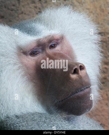 Hamadryas baboon, Hawaii, United States of America, Pacific - Stock Image