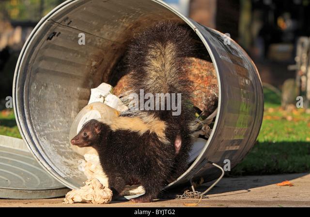 Striped Skunk (Mephitis mephitis) foraging in a dustbin. - Stock-Bilder