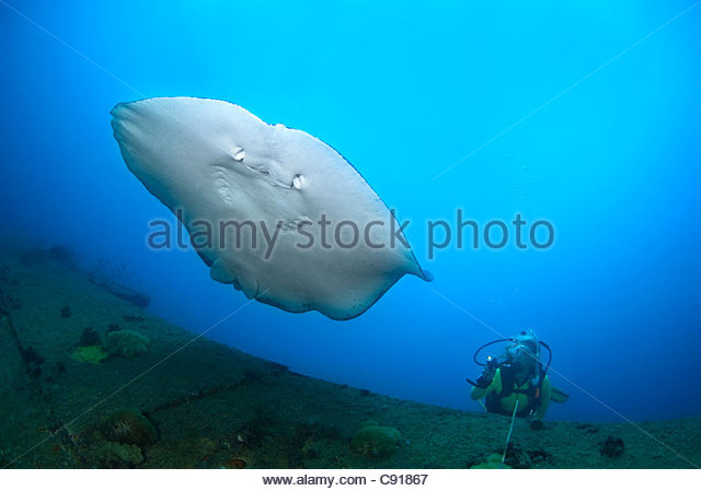Stingray at the SS Yongala Shipwreck, Great Barrier Reef Marine Park Australia - Stock Image