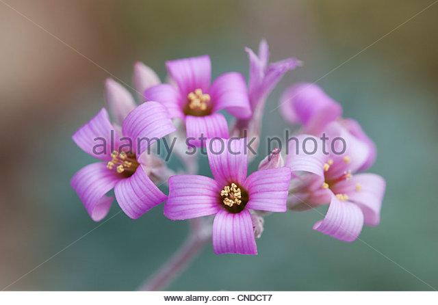 Kalanchoe pumila. Dwarf kalanchoe. Flower Dust Plant - Stock Image