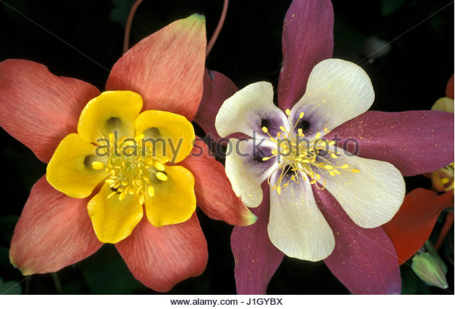 AQUILEGIA MIXED   PERENNIAL  CLOSE UP  LATE SPRING  EARLY SUMMER - Stock Image
