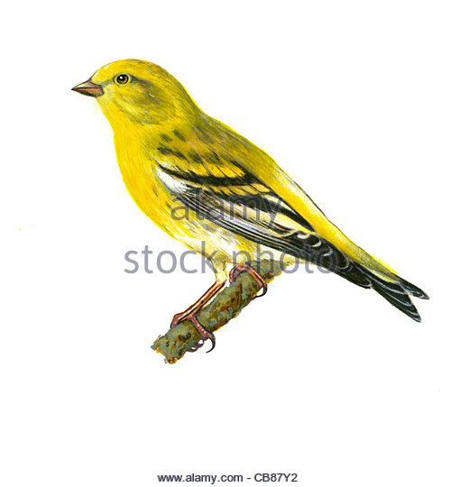 Serin bird species Series Songbird - Stock-Bilder