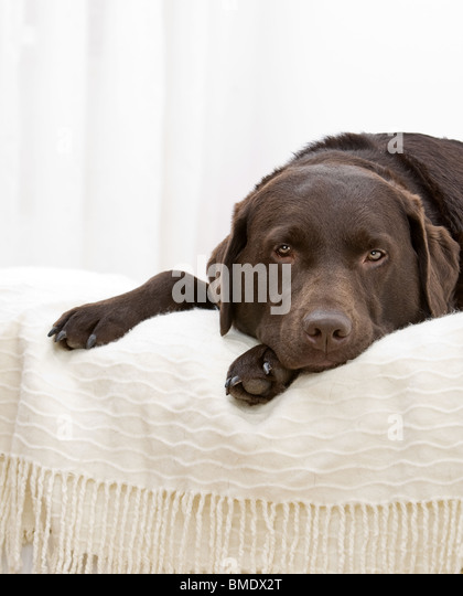 Shot of a Handsome Chocolate Labrador Laying Down on the Bed - Stock Image
