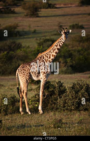 Giraffe walking in field - Stock Image