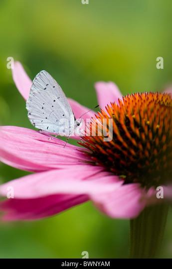 A single common blue butterfly - Polyommatus icarus on a purple cone flower - echinacea purpurea - Stock Image