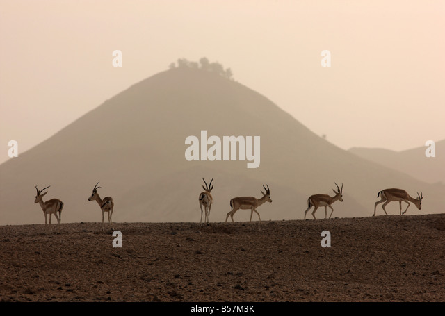 Sand or Goitered Gazelle Gazella subgutturosa Sir Bani Yas Island private game reserve in the persian gulf near - Stock Image