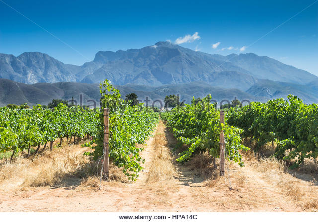 Grape vines on a hot summer day in Western Cape, South Africa - Stock Image