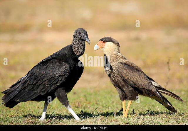 Black Vulture (Coragyps atratus) and Southern Caracara (Caracara plancus), Face to Face on the Ground. Rio Claro, - Stock Image