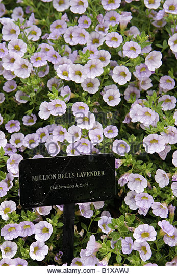 Arkansas Hot Springs Garvan Woodland Gardens lavender Million Bells Calibracoa hybrid nature botany flora planting - Stock Image