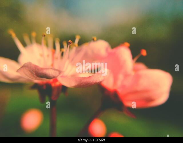 Pink cherry blossom - Stock Image