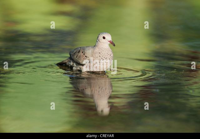 Common Ground-Dove (Columbina passerina), adult bathing, Dinero, Lake Corpus Christi, South Texas, USA - Stock Image