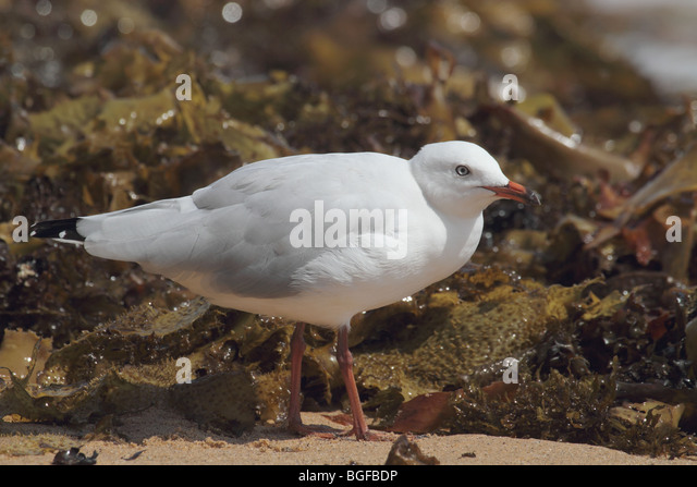 Silver gull on foreshore - Stock Image