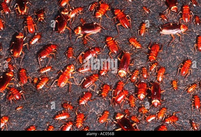 Cockroach On cave wall Borneo - Stock-Bilder