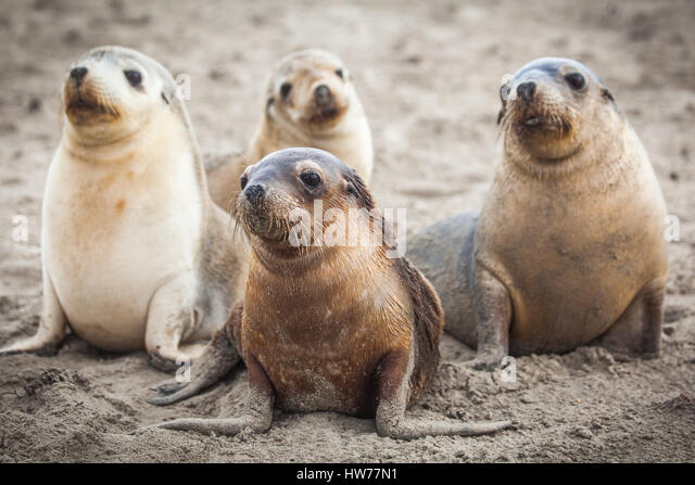 Australian Sea-lion (Neophoca cinerea) - Stock-Bilder