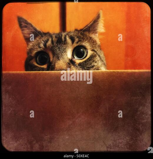 Tabby cat peeking out of cardboard box - Stock Image