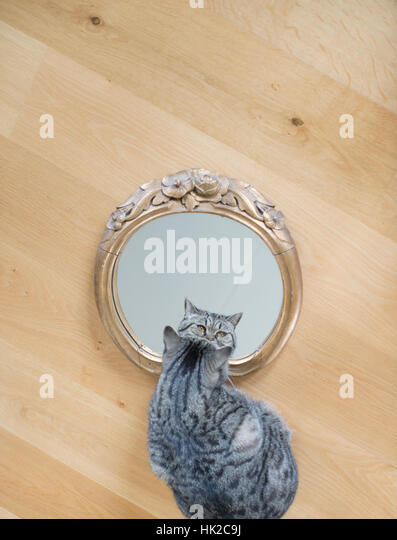 Cat looking at himself in mirror. Playful pet that admire his own looks. - Stock-Bilder