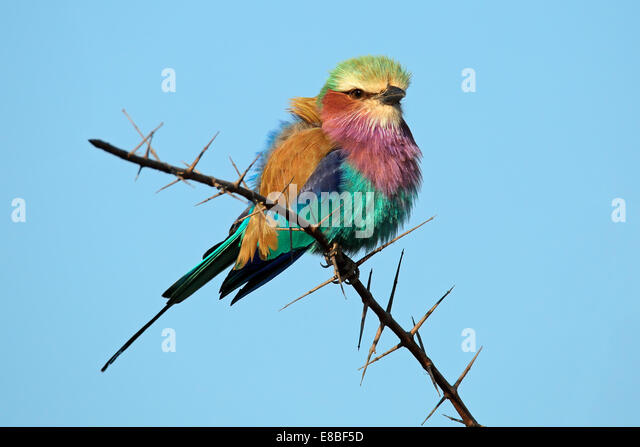 Lilac-breasted roller (Coratias caudata) perched on a branch against a blue sky, South Africa - Stock Image