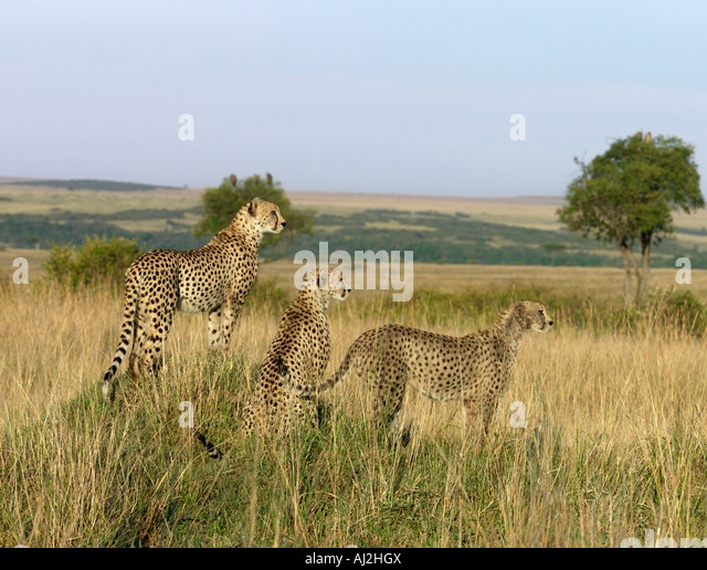 A family of three young cheetahs stand on a termite mound to seek their quarry of small antelopes grazing on the - Stock-Bilder