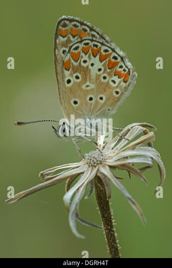 Northern Argus: Argus Butterfly Europe Stock Photos & Argus Butterfly