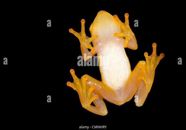 Madagascar Reed Frog (Heterixalus madagascariensis) Masoala Peninsula National Park, north east Madagascar. - Stock Image