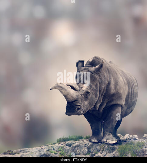 Portrait of Adult White Rhinoceros - Stock Image